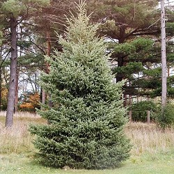 Potted Stock - Spruce, Black Hills for sale at Sheboygan Tree & Shrub Program