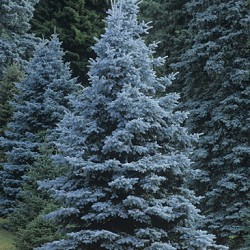 Potted Stock - Spruce, Colorado Blue for sale at Sheboygan Tree & Shrub Program