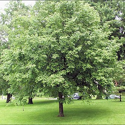 Musclewood for sale at Sheboygan Tree & Shrub Program
